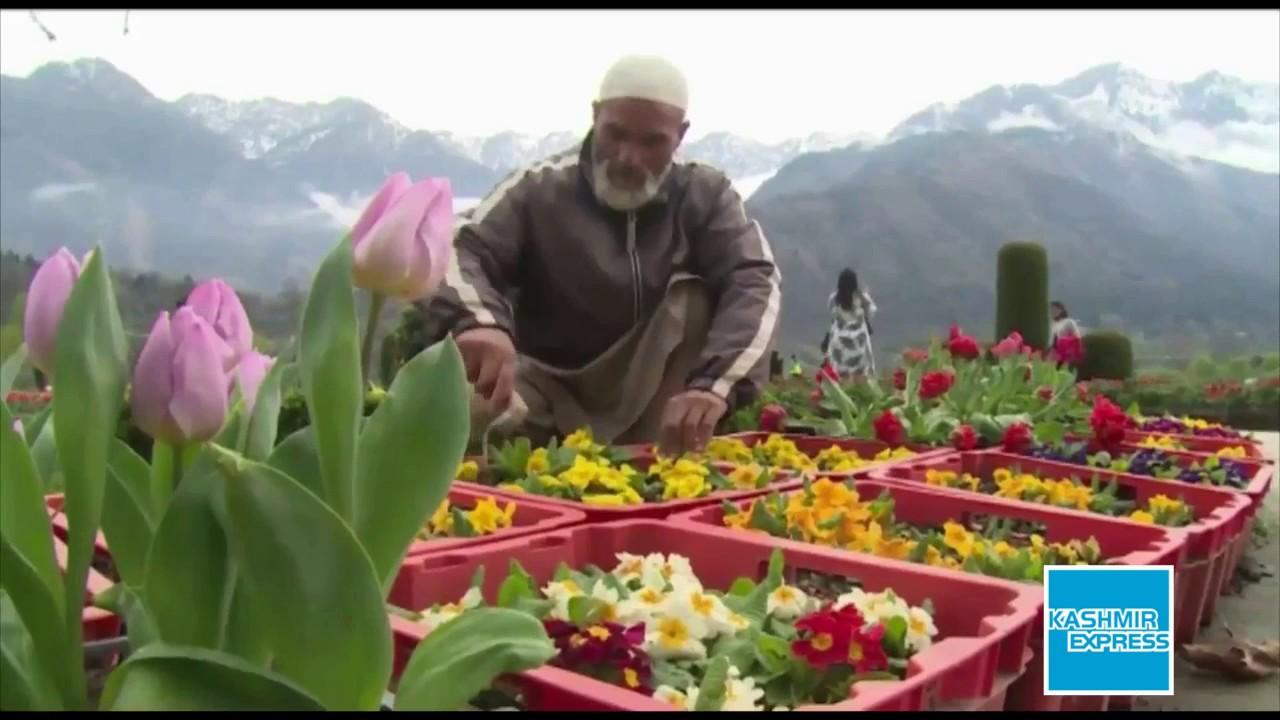 tulip garden 2017 kashmir - youtube