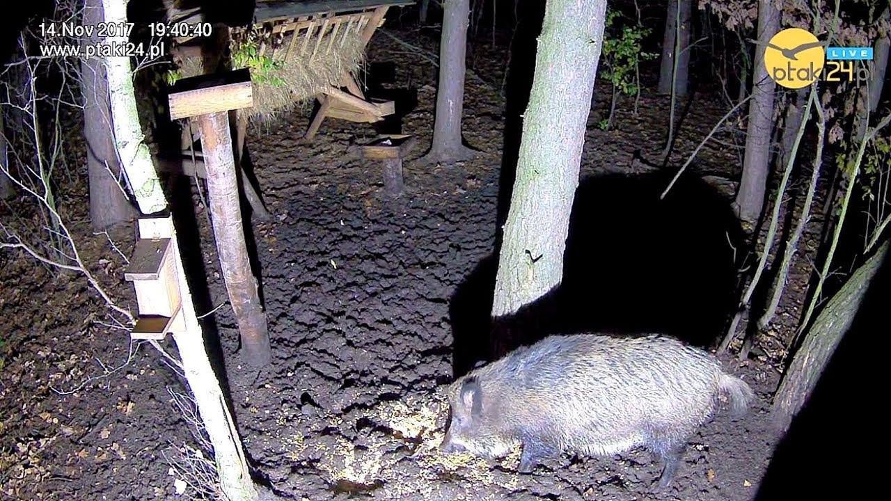 Samotny dzik w karmisku w lesie na Podkarpaciu