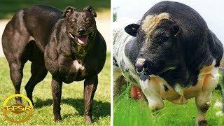 10 สัตว์ร่างกายแข็งแรงและบึกบึนที่สุดในโลก (กล้ามโตมากๆ)