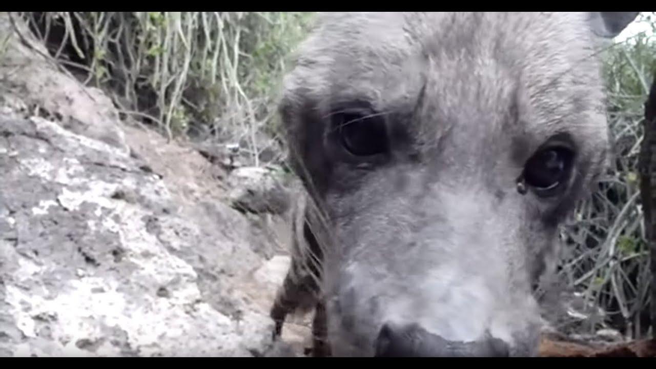 Wild Striped Hyena - Lake Eyasi, Tanzania