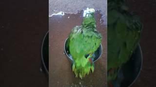 Papagaio falante muito engraçado
