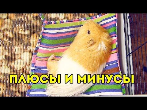 ПЛЮСЫ и МИНУСЫ содержания МОРСКИХ СВИНОК / SvinkiShow