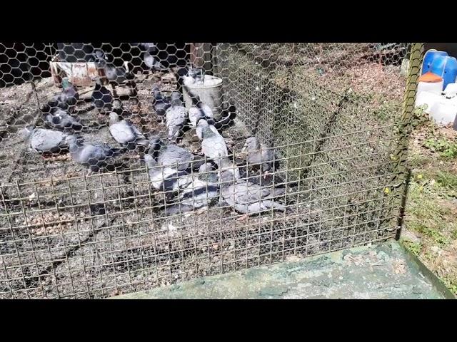 palombe.org - Le bain des pigeons à la palombière