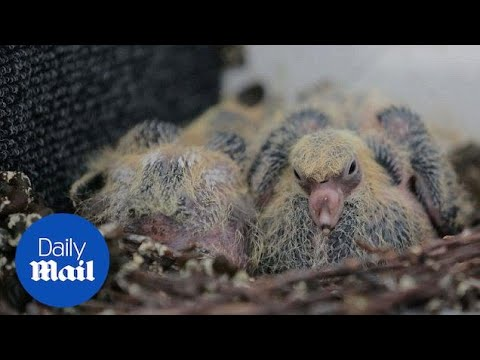 Baby pigeons set up nest in STAIRWELL of Bristol flats - Daily Mail