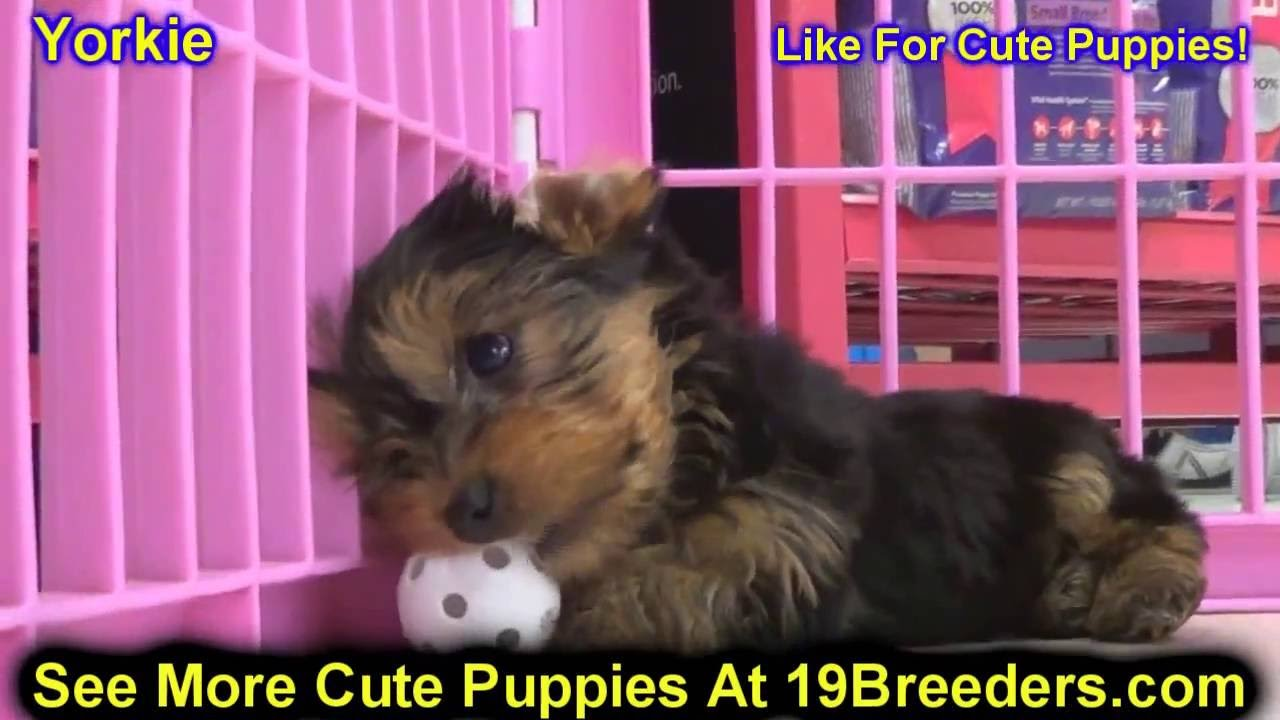 Backpage Charleston Wv >> Yorkshire Terrier, Yorkie, Puppies, Dogs, For Sale, In ...