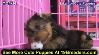 Yorkie, Puppies, For, Sale, In, Weirton, West Virginia, Wv, Kanawha, Monongalia, Cabell, Wood, Ralei