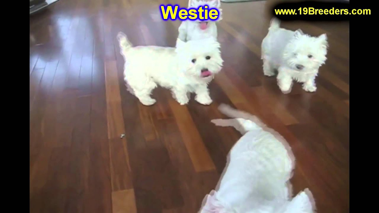 Michigan oakland county highland - West Highland Terrier Puppies For Sale In Lansing Michigan Mi Oakland Macomb Kent Genesee Youtube