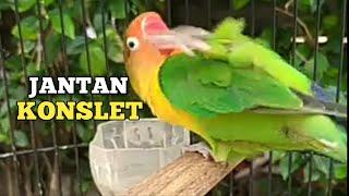 Download lagu Jantan konslet:paling cepat merangsang bahan Lovebird jantan birahi ngekek
