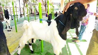 Harga kambing etawa pasar hewan srengat blitar 25 Juli 2021 | Sahabat sapi dolan pasar