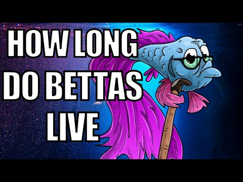How Long Do Betta Fish Live | Betta Fish Lifespan