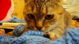 Кошка Ромашка жамкает голубую кофту!