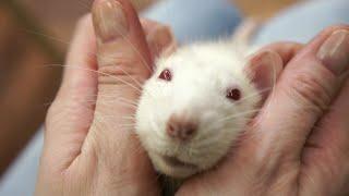 Как создать дом для любимой крысы