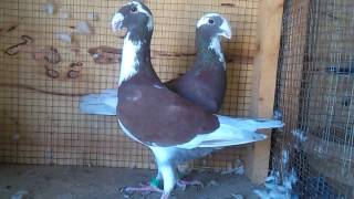 exhibition class large size downface pigeons farming in Pakistan 03459442750 Zain Ali