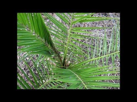 Canary Island Date Palms 🌴  (Phoenix canariensis) 🌴
