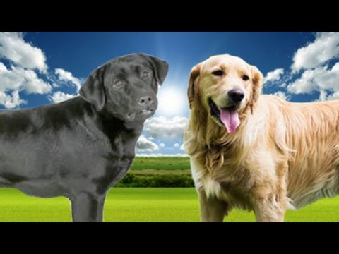 Labrador Retriever vs Golden Retriever Highlights - YouTube 28d4fd3c669