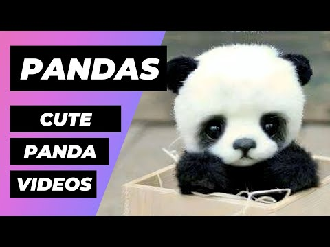 Baby Pandas 🔴 Cute and Funny Baby Panda Videos Compilation (