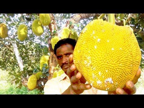 Farm Fresh Jackfruit Cutting And Eating In My Village | Healthy Village Food