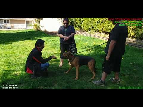 DANGEROUS DOG - German Shepard Bites People, Attacks Other Dogs