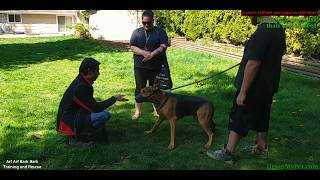 Hey Dog...You're OKAY: Axel (Dangerous Dog AABB Level 5) 2-Hour Contest Session WINNER