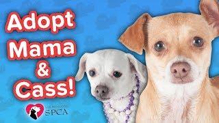 Adopt Mama & Cass! // Chihuahuas // Adoption Featurette
