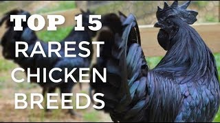 Top 15 Rarest Chicken Breeds In The World | Kids Poultry