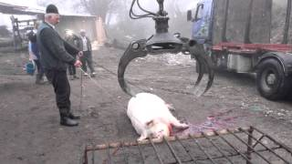 Cea mai tare faza la taierea porcului