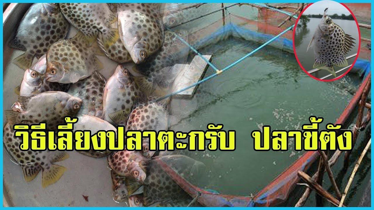 การเลี้ยงปลาตะกรับหรือปลาขี้ตัง | ปลาเนื้อดีราคาแพง |