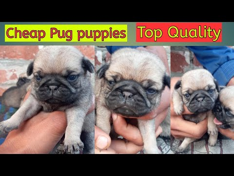 Pug Puppies For Sale || Puppies Sale || Fully Undernose And Wrinkle Head Pug Puppies