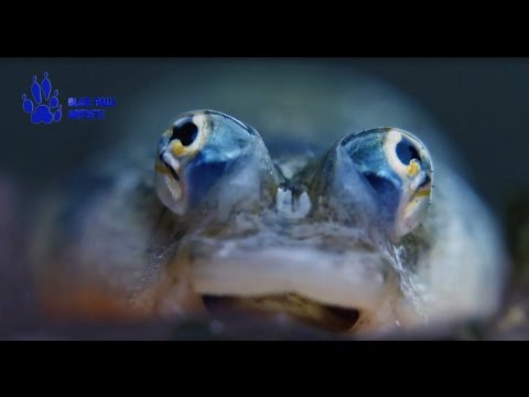 Four Eye Fishes And Pelicanes