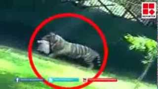 Ngeri !!!,,,Seorang pelajar di Baham Harimau dalam kadang Zoo...