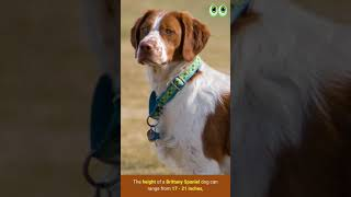 Brittany Spaniel  Dog Breed Guide   Petmoo   #Shorts