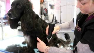 HOW TO DO A WORKING COCKER SPANIEL