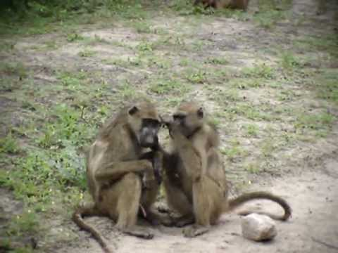 Wild Baboons grooming and mating in Botswana - YouTube