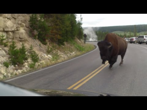 Bison Crossing in Yellowstone