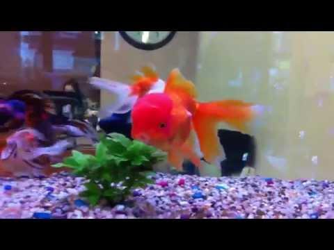 Big fat red cap Oranda goldfish