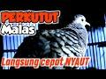 Perkutut Lokal Pemancing Birahi Cocok Untuk Perkutut Yang Kurang Gacor  Mp3 - Mp4 Download