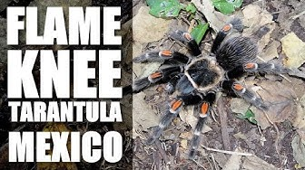 FLAME KNEE TARANTULA Mexico