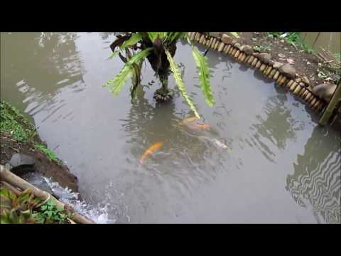 Kolam Alami Terbaik untuk Pertumbuhan Ikan Koi dan Ikan Mas