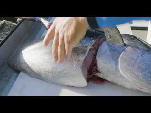 How To Clean Blackfin Tuna And Why They Are Never On A Menu.