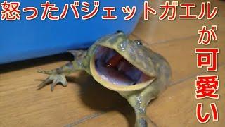 怒ったバジェットガエルが可愛すぎる
