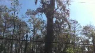 Worlds largest cypress tree discovered in Louisiana.  Oldest biggest spookiest