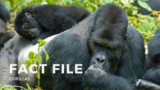 Gorilla Fact File - Mammals