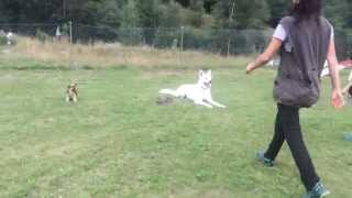 Dog Training - Clicker Training - Yorkshire Terrier - White Shepherd Dog