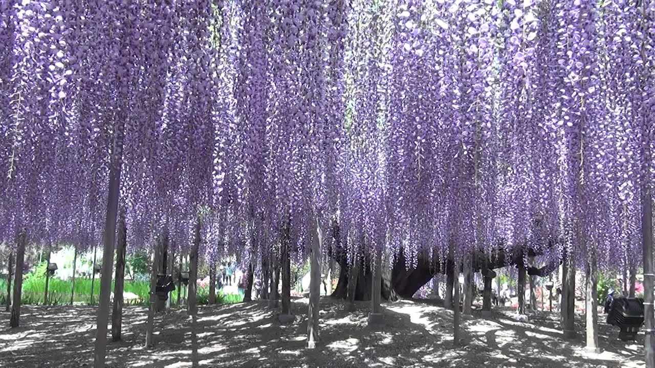 Wisteria Falls Wallpaper 145 Year Old Wisteria Tree In Ashikaga Park Youtube