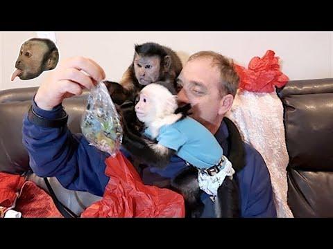 Capuchin Monkeys Open Canadian Box of FUN!