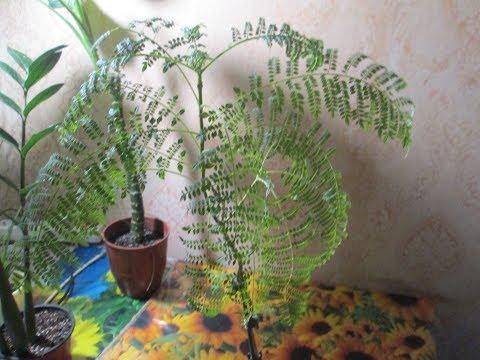 Жакаранда мимозолистная : развитие, состояние растения на сег одняшний день. -Видео по запросу