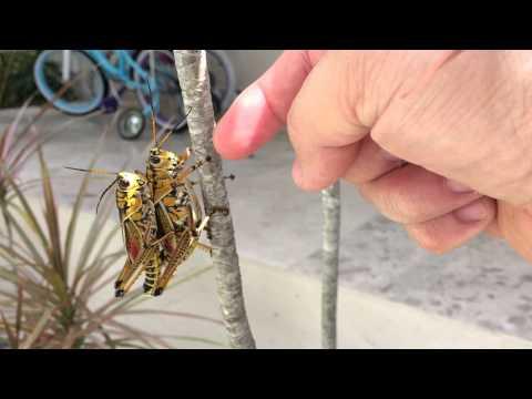 Eastern lubber grasshopper ( Romalea guttata )