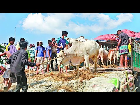 Download Unloading Cows from Truck at Gabtoli Gorur Haat!!!