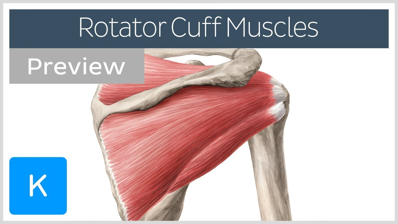 Rotator Cuff Muscles Overview  Preview  - Human Anatomy