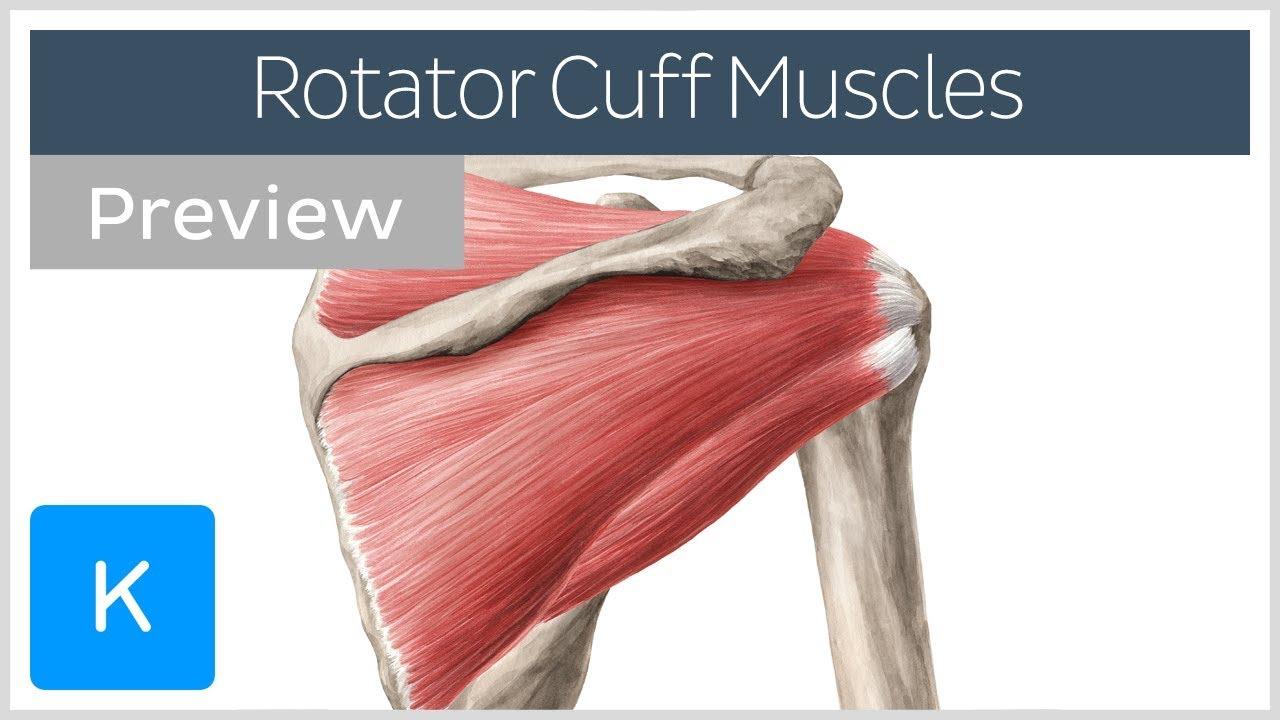 medium resolution of rotator cuff muscles overview preview human anatomy kenhub